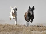 История благородного волка