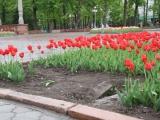 Тюльпановые грабители